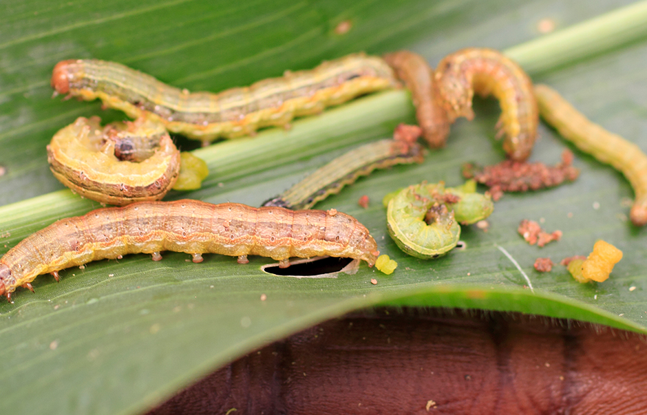 Fall armyworm on a maize leaf