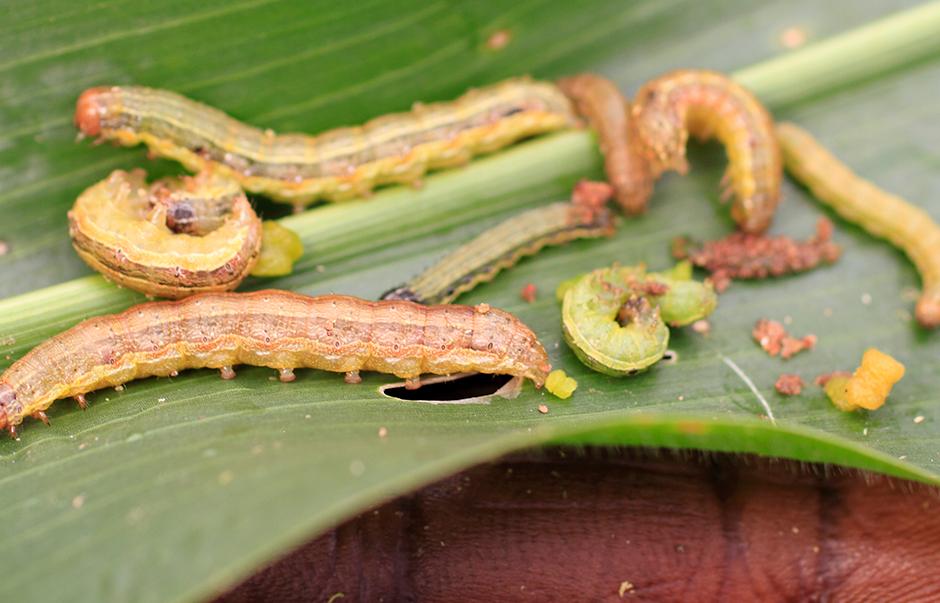 Fall armyworm on a maize leaf