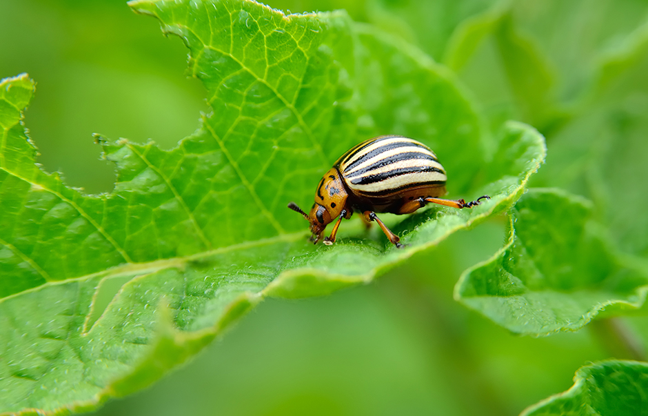 A Colorado beetle on a leaf