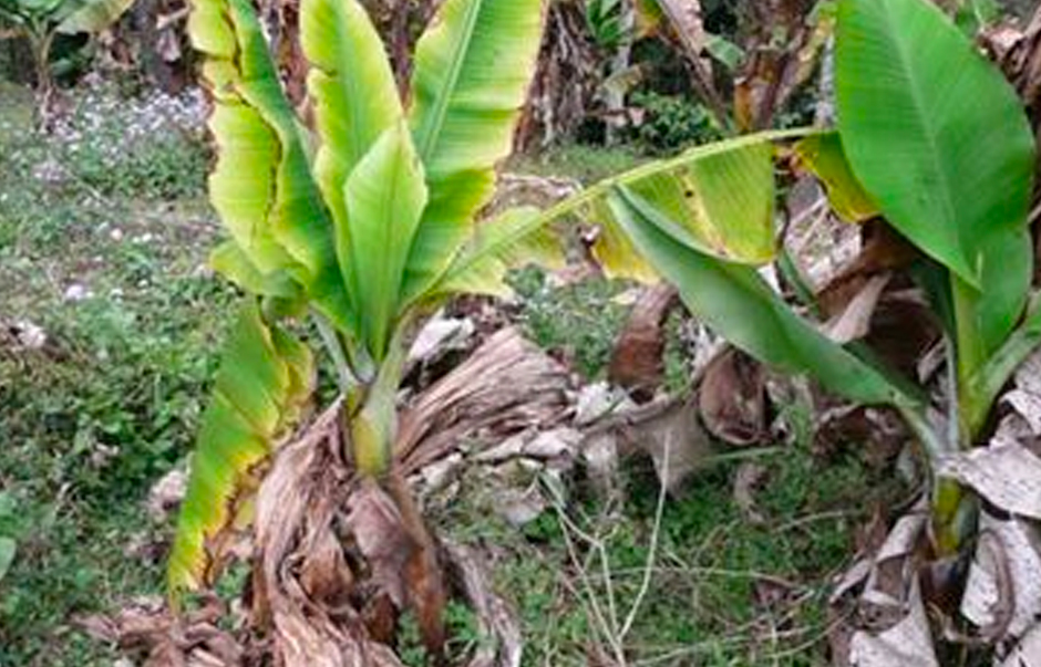 A diseased banana plant