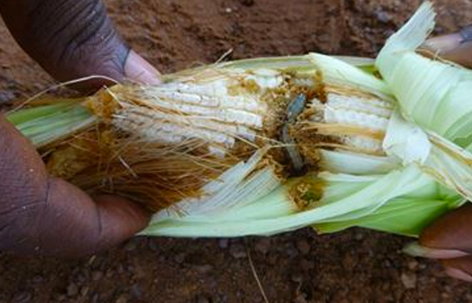 Fall armyworm on a maize cob