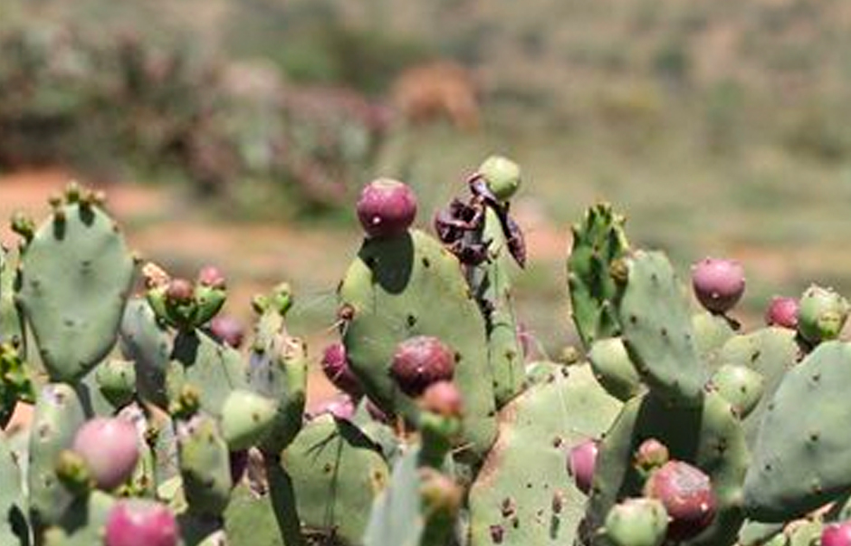 Opuntia stricta in Kenya