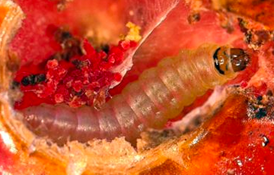 A close up of a tuta absoluta caterpillar