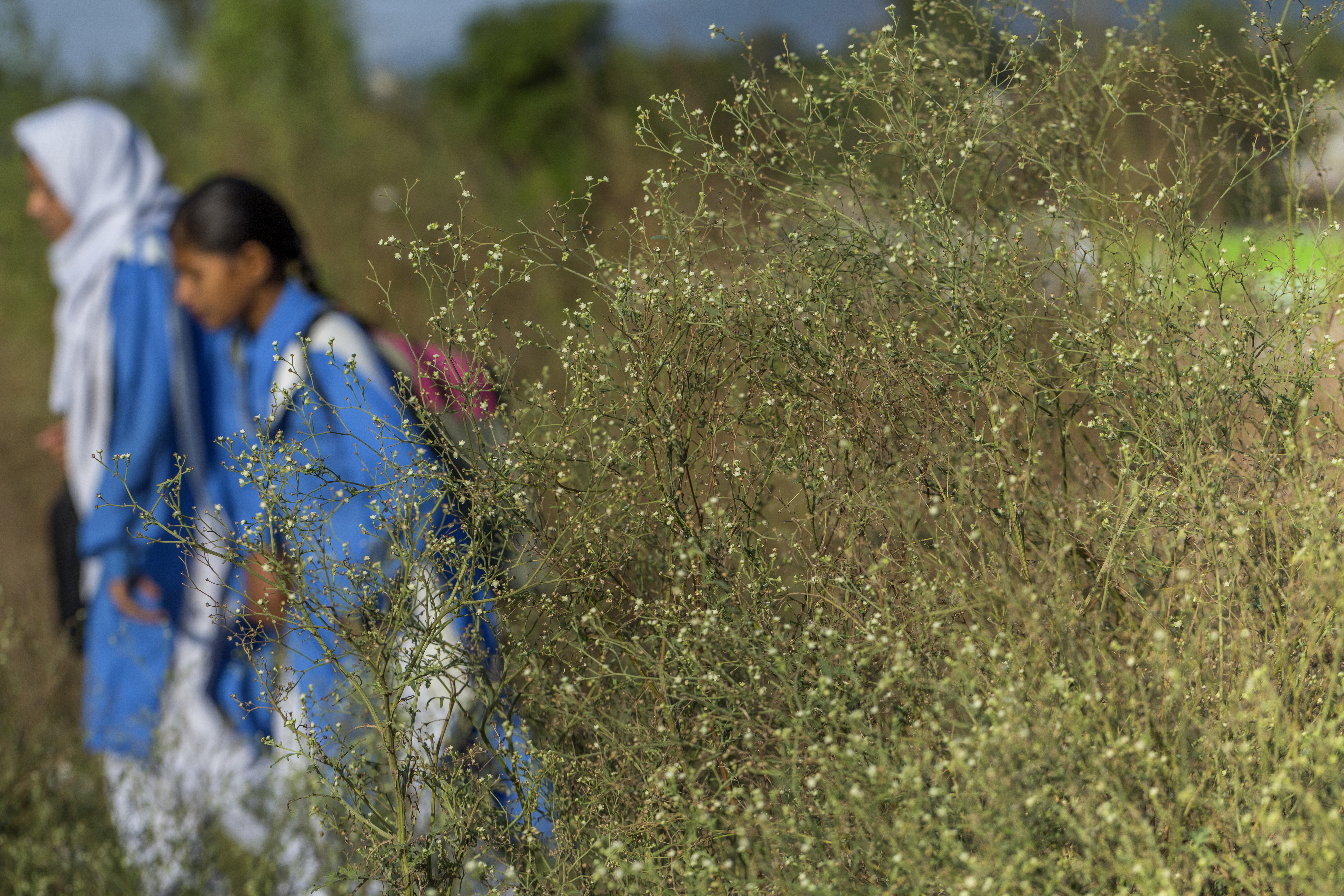 thicket of parthenium weeds cover view of two school girls in Pakistan