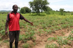 An African farmer in a field of crops damaged by pests