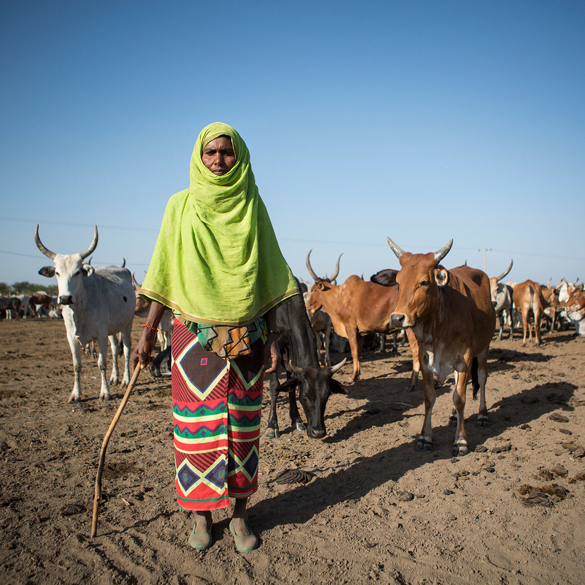 A cow herder in Ethiopia