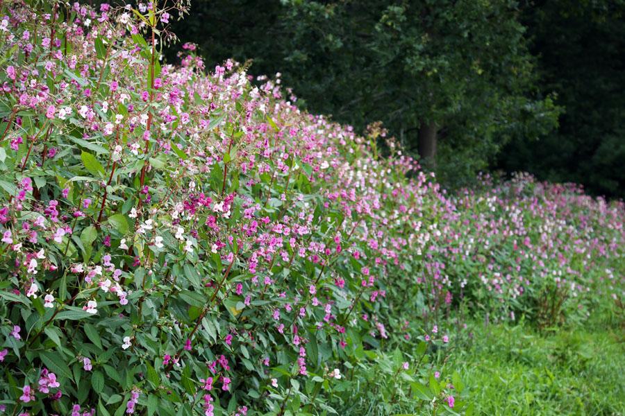 Himalayan balsam flowering infestation